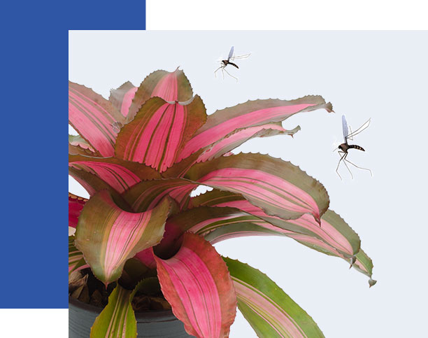 Bromeliad Plant attracting mosquitoes. What to know about mosquitoes and bromeliads | Collier Mosquito Control District