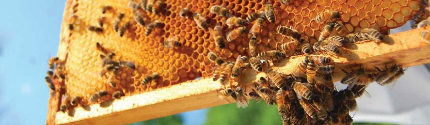 Protecting the Pollinators - Bees and Honeycomb | Collier Mosquito Control District