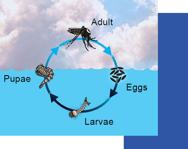 Southwest Florida Mosquito Lifecycle | Collier Mosquito Control District